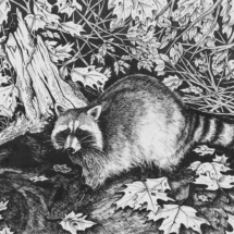 Racoon Drawing